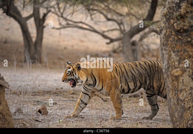 Tiger roaring in Ranthambhore national park, - Stock Image