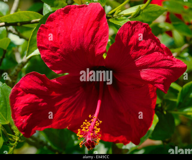 Rose of China Hibiscus rosa sinensis - Stock Image