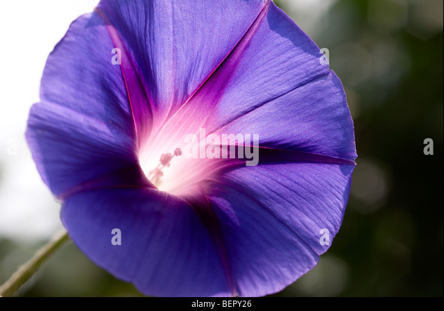 Morning glory, blue flower, royal blue, white, stamen, flower, flowers, creeper, macro, close-up, close up - Stock Image