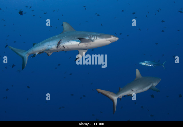 Grey reef sharks hurt by mating (Carcharhinus amblyrhynchos) - Stock-Bilder