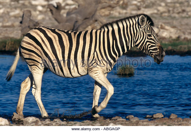 Burchells Zebra, Equus quagga, Etoscha National Park, Namibia, Africa - Stock Image