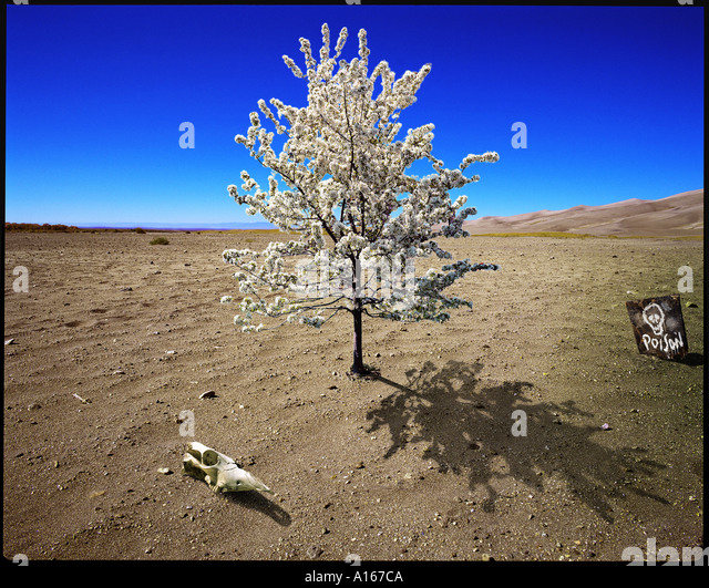 Flowering tree in middle of desert with skull and sign saying poison. - Stock Image
