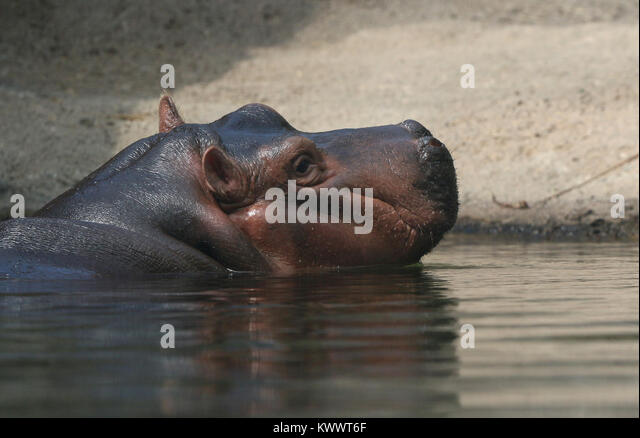 Baby hippo Fiona with mother at Cincinnati Zoo - Stock Image