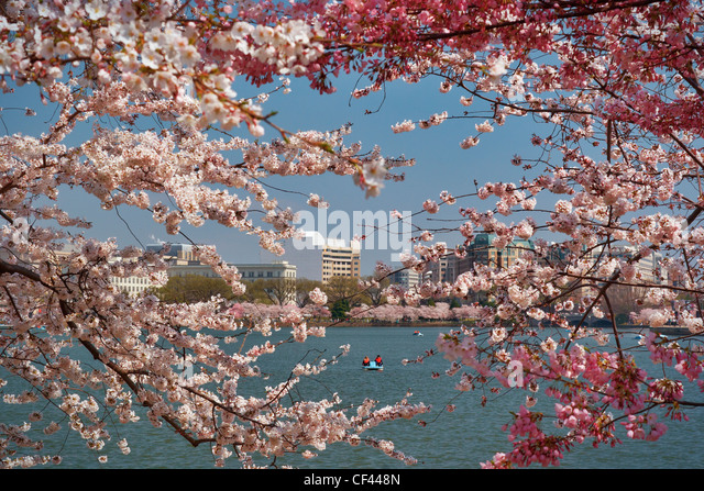 Japanese cherry blossom trees in bloom along the perimeter of the Tidal Basin, Washington, DC. - Stock Image