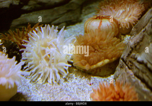 Sea Anemones, Actiniaria - Stock Image