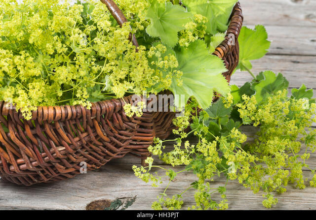 lady mantle stock photos lady mantle stock images alamy. Black Bedroom Furniture Sets. Home Design Ideas