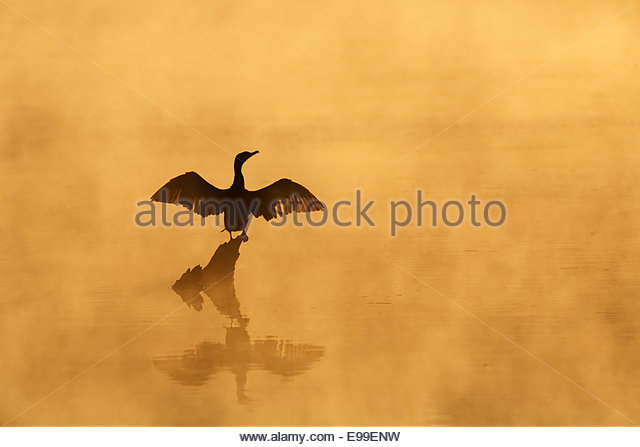 Double-Crested Cormorant (Phalacrocorax auritus) Drying wings at sunrise in fog - Stock Image