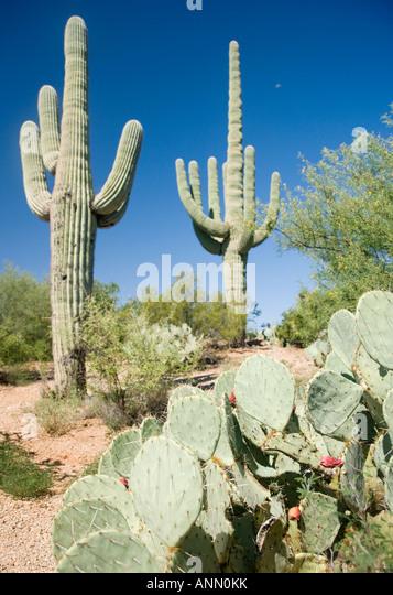 Assorted cactus in desert, Arizona, United States - Stock Image