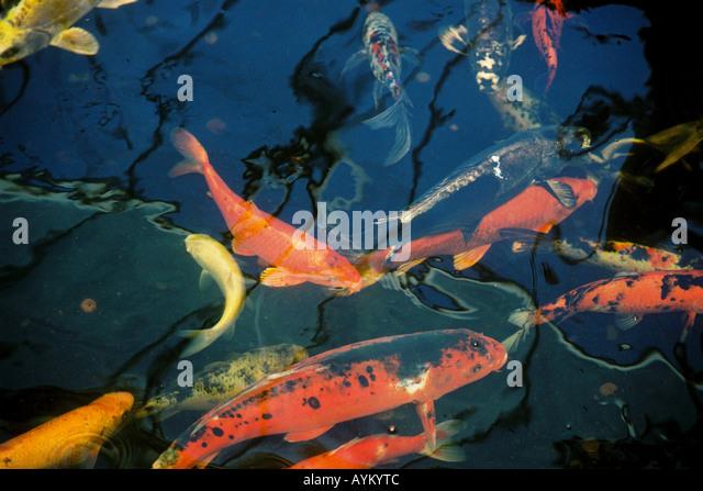 Coy carp stock photos coy carp stock images alamy for Coy carp pond