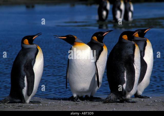 KING PENGUINS Falkland Islands - Stock Image