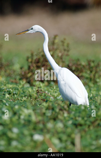 A Great Egret ardea alba searches for food in a central Florida pond in February 2003 COPYRIGHT DUANE BURLESON - Stock Image