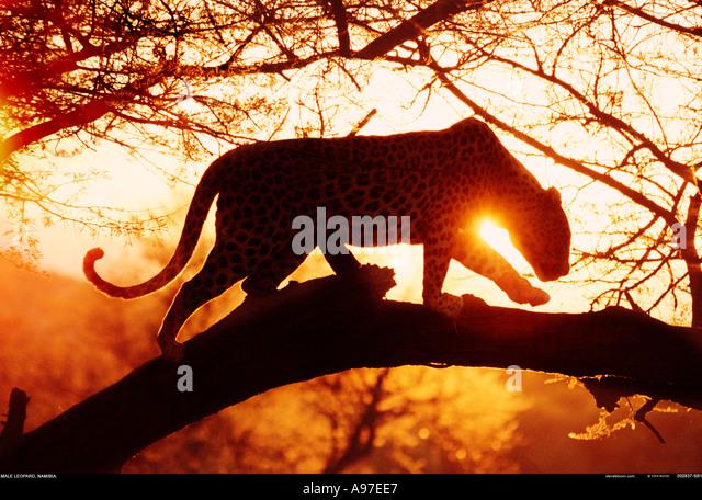 Leopard Namibia - Stock Image