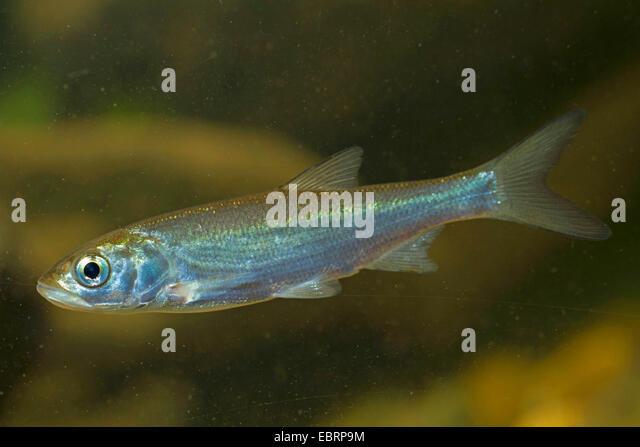 asp (Aspius aspius), juvenile - Stock Image