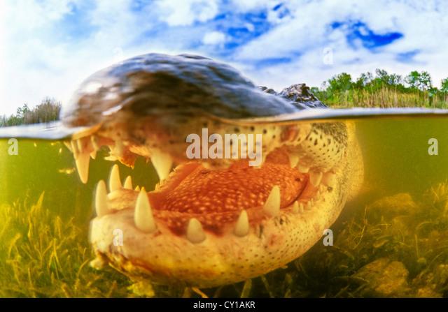 American Alligator, Alligator mississippiensis, Everglades National Park, Florida, USA - Stock-Bilder