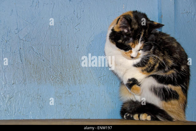 Shy calico cat on a wooden ledge and blue wall. - Stock Image