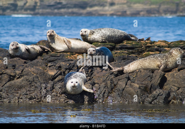 dh Common Seal SEAL UK Common seals basking on rocky outcrop Birsay Orkney - Stock Image