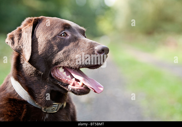 Happy Chocolate Labrador in the Countryside - Stock Image