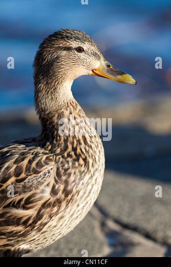 Female mallard - Anas platyrhynchos - Stock Image