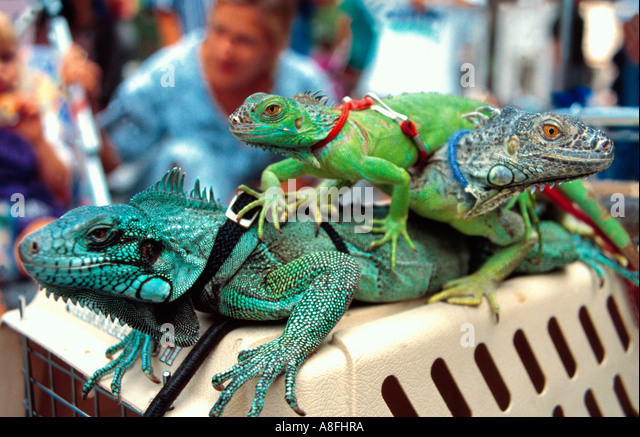 iguanas/lizards with leash on top of cage, New York, USA - Stock-Bilder