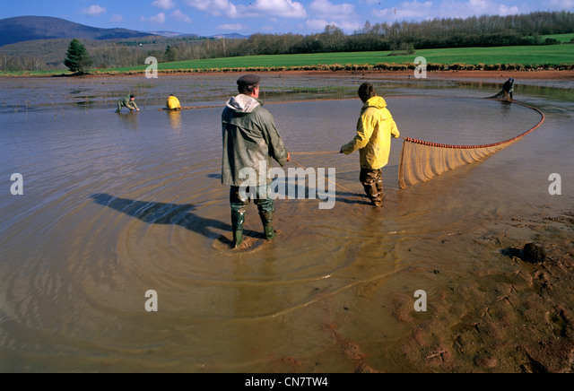 France, Territoire de Belfort, Lachapelle sous Chaux, farmer, pond drainage, net fishing, carp, paw prints of Heron, - Stock Image