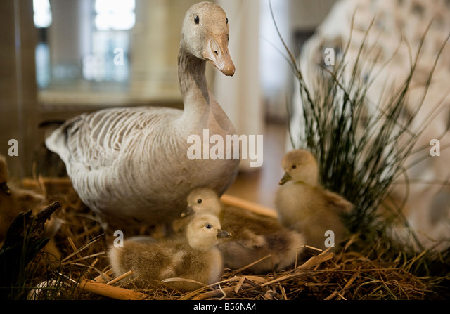 Stuffed duck and ducklings - Stock Image