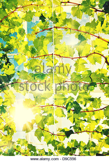 sunshine vines - Stock Image