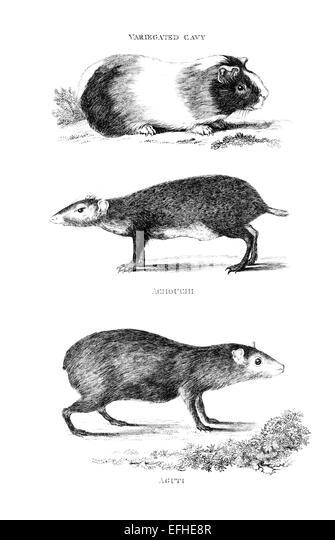 Victorian engraving of a cavy and an aguti. Digitally restored image from a mid-19th century Encyclopaedia. - Stock Image