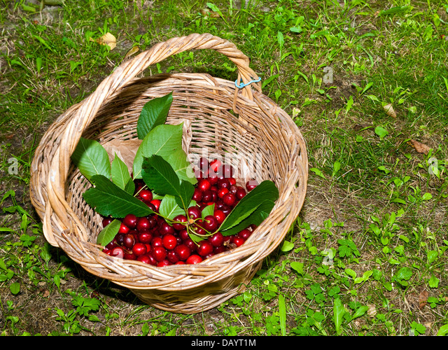 Basket of sorted ripe, red cherries - France. - Stock Image
