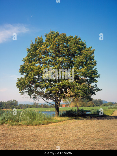 single tree outside the village of  Nemcice, Czech Republic, Europe. Photo by Willy Matheisl - Stock Image