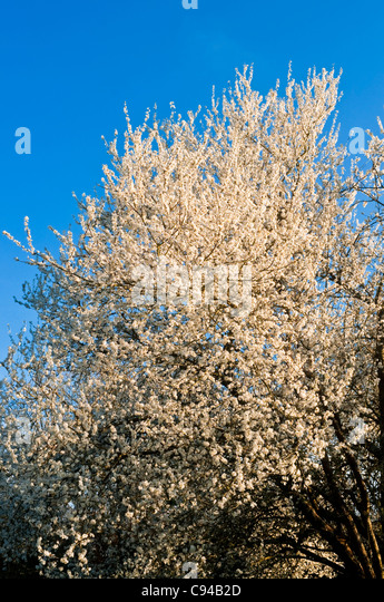 Blossom in Spring - France. - Stock Image