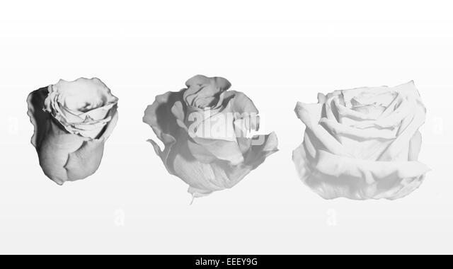 Rose in various stages of life. - Stock Image