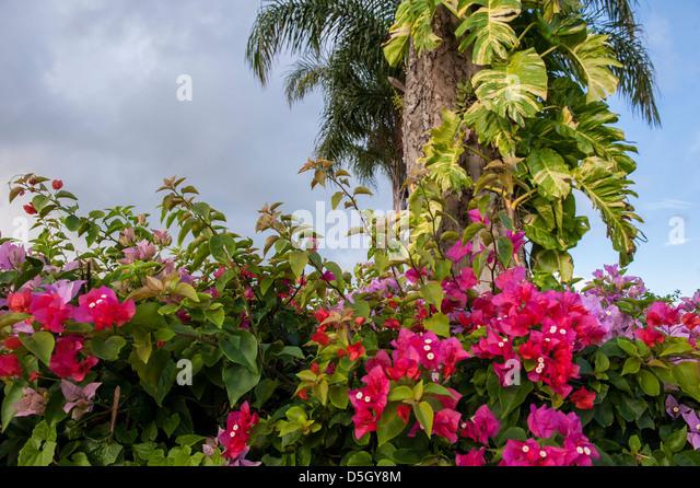 Dominican Republic, Punta Cana, Higuey, Bavaro, Bougainvillea - Stock Image