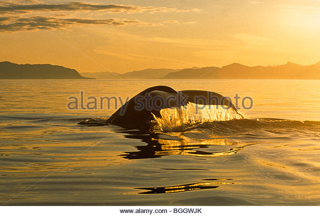 Alaska . Southeast . Humpback Whale (Megaptera novaeangliae) tail with sunset and reflection on water . - Stock Image