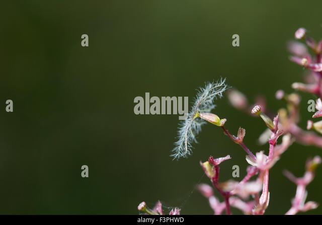 Valerian Seed Head; Centranthus ruber Cornwall; UK - Stock Image
