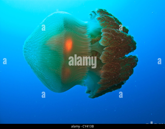 Closeup of Box jellyfish swimming on its side in the Coral Sea at the Great Barrier Reef  in Australia - Stock Image