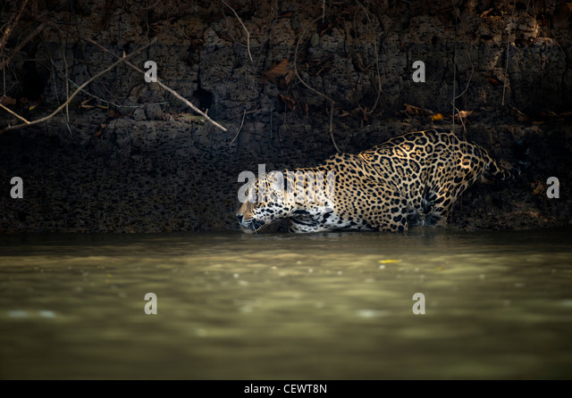 Wild male Jaguar (Panthera onca palustris) entering the Piquiri River, a tributary of Cuiaba River, Northern Pantanal, - Stock-Bilder