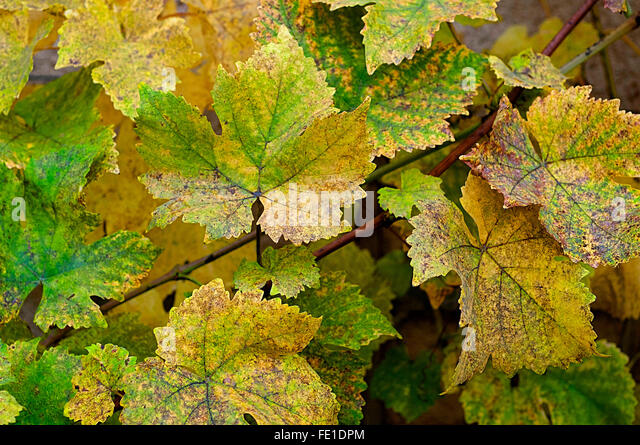 Grape vine leaves - France. - Stock Image