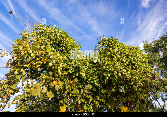 Wild hops growing on bushes. - Stock Image