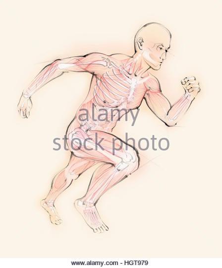 Biomedical illustration of running man showing skeleton and muscles - Stock-Bilder