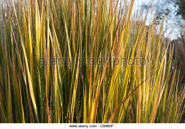 Panicum virgatum stock photos panicum virgatum stock for Yellow ornamental grass