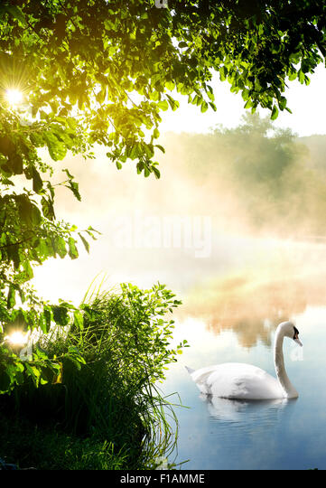 White swan on river in the morning - Stock Image