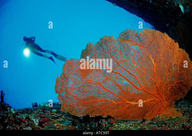 Diver and Red Sea Fan Similan Islands Thailand - Stock Image
