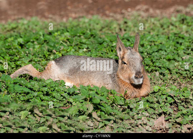 Mara resting in the Sunshine - Stock Image