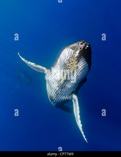 Humpback whale, (Megaptera novaeangliae) - Stock-Bilder