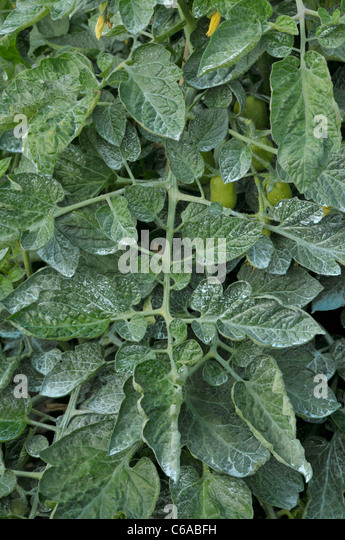 Tomato plants sprayed with Bordeaux mixture, against blight - Stock Image