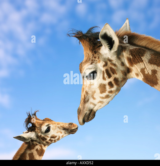 giraffe mother and baby - Stock Image