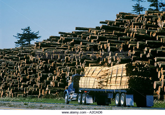 Semi Truck with Load of fresh cut lumber with huge pile of fresh cut logged pine trees Northern California - Stock Image