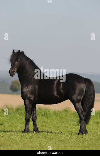Friesian Horse (Equus ferus caballus). Stallion standing on a meadow. - Stock Image