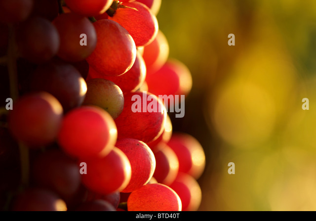 Wine grapes - Stock-Bilder