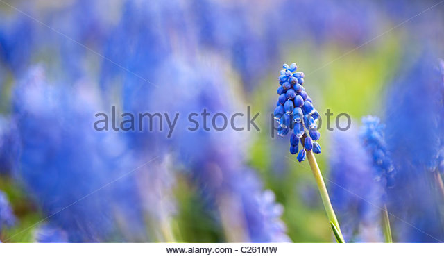Muscari armeniacum. Grape hyacinth against blurred blue and green background. Panoramic - Stock Image